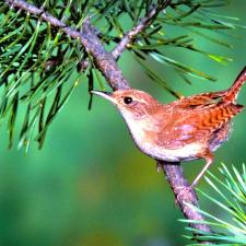 A small bird in a tree can be more easily heard with the right type of hearing aid.