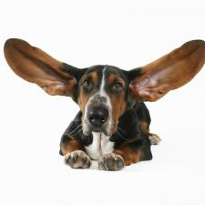 basset houd with ears raised for good hearing.