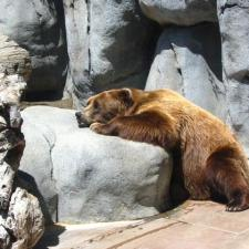 Bear asleep on rock