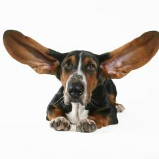 Basset hound with ears raised listens to myths about hearing loss.